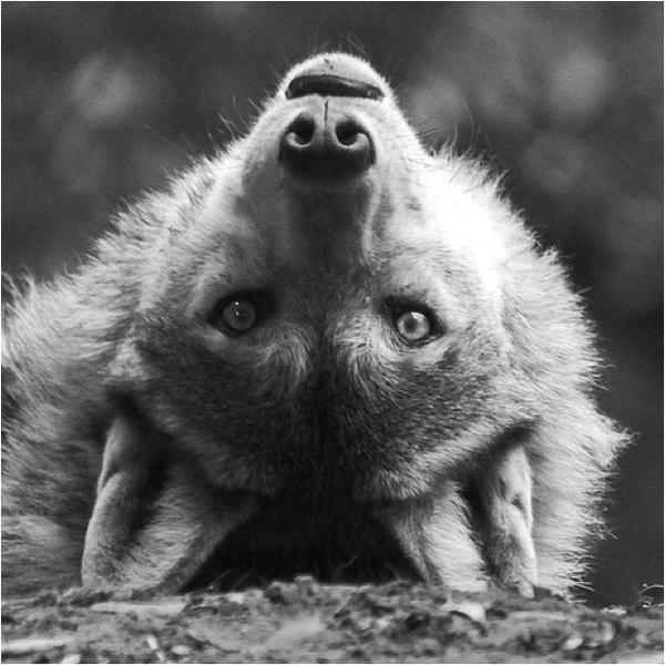 black-and-white-wolf-Favim.com-519950