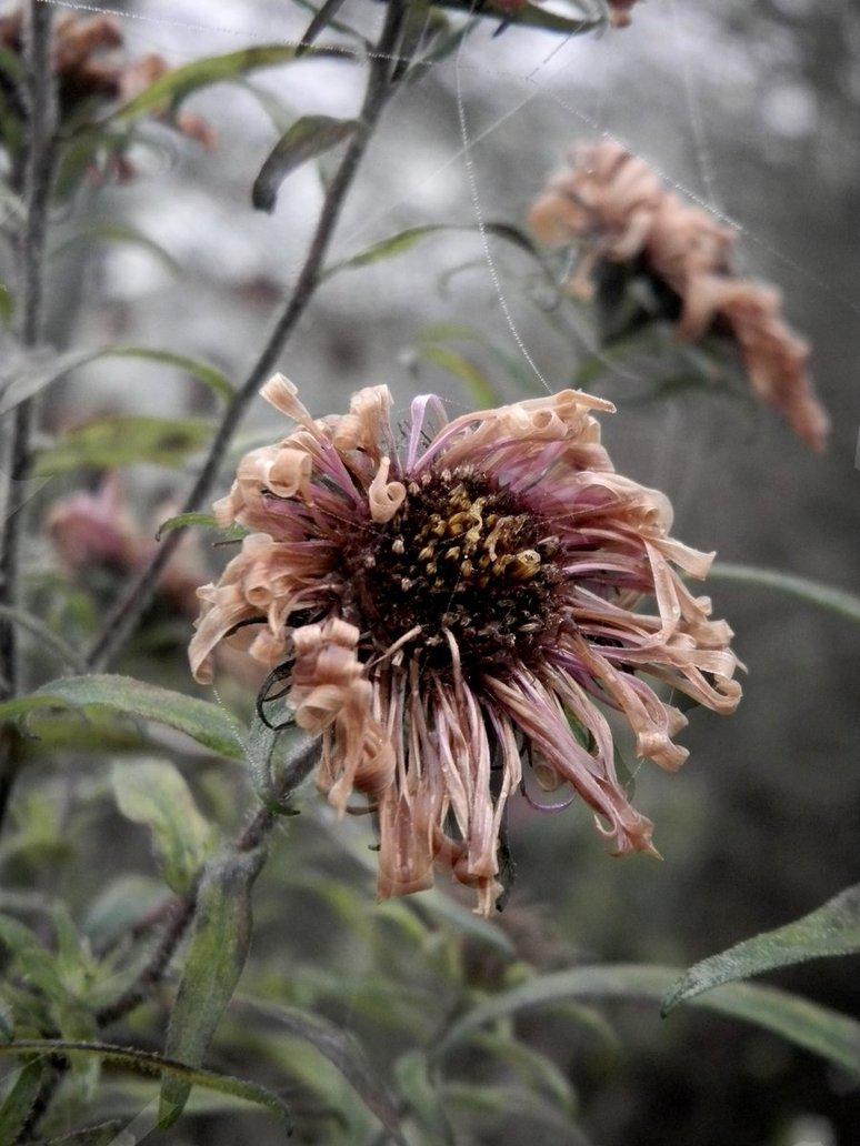 dead_flower_3_by_ywea-d4gqtk6