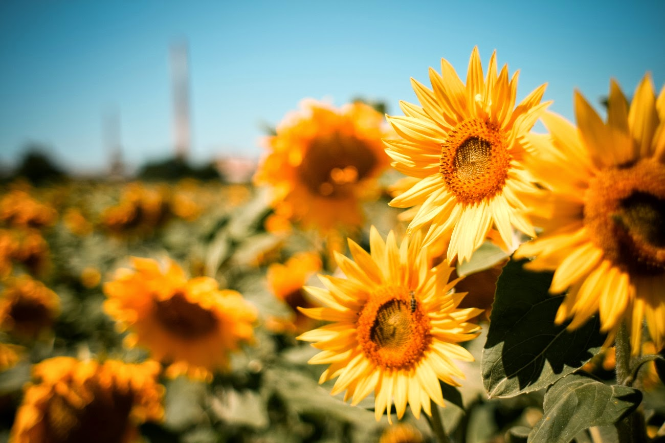 vintage-sunflowers-tumblr-widescreen-2