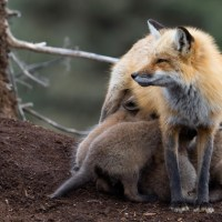 Step Aside Ladies (Trans-vixens Are Breast Feeding Now)