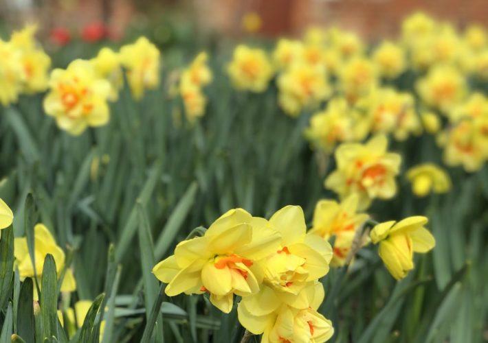 Daffodils close up