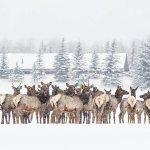 Park City Elk