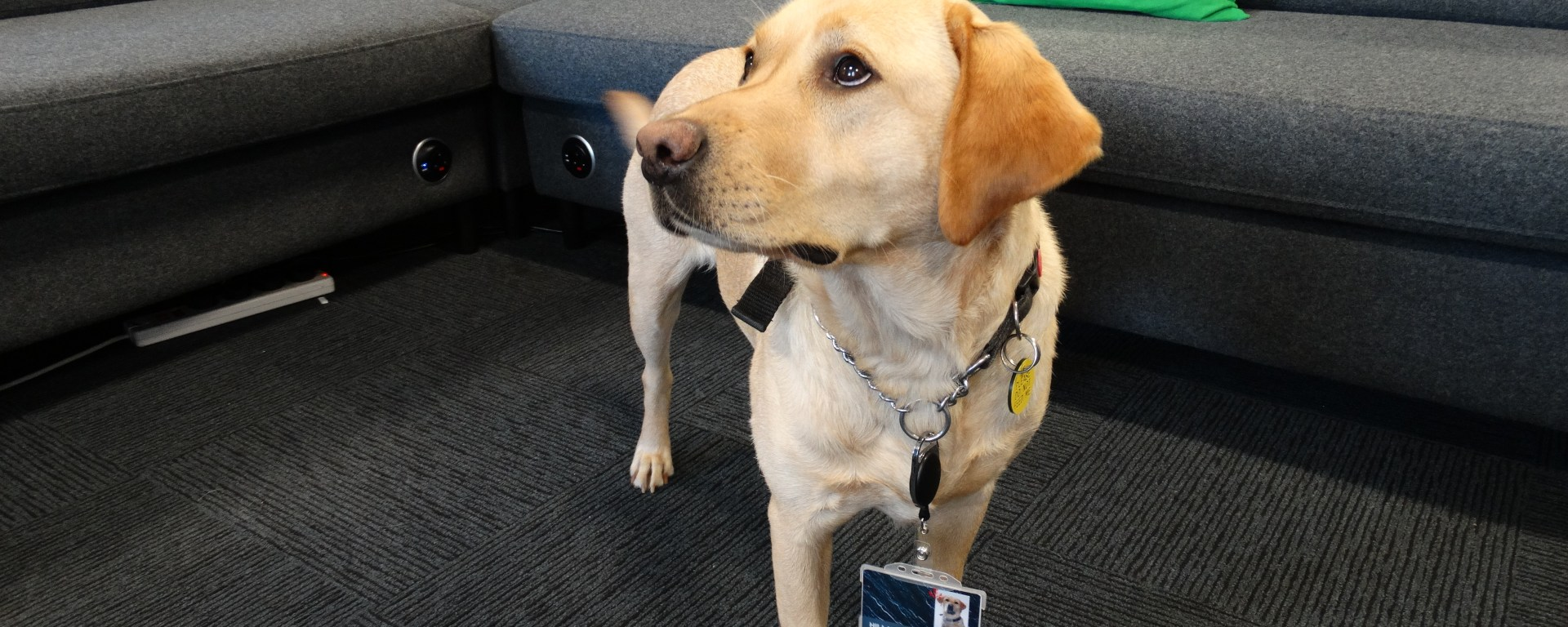 Image of Hillary the guide dog looking up at the camera displaying her pass