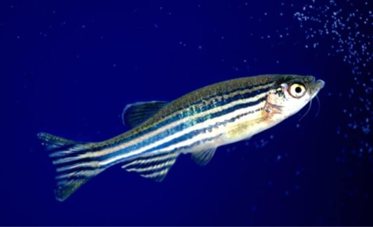 Studying Social Behavior and Locomotor Activity in Zebrafish