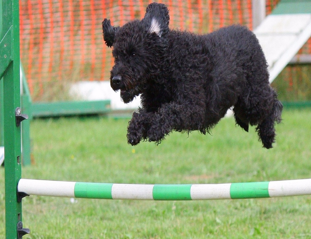 A black labradoodle jumps over a white and green pole, like a track and field jump. On the left, you see a vertical, green beam it rests on. Green grass and a brick wall are underneath and behind the dog.