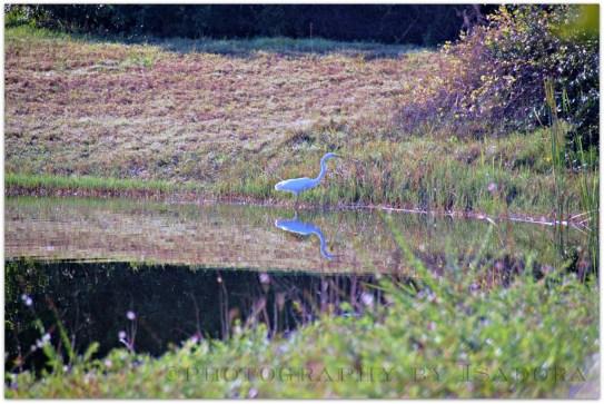 Egret in the Bush.web