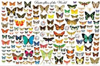 a221-butterflies_of_world