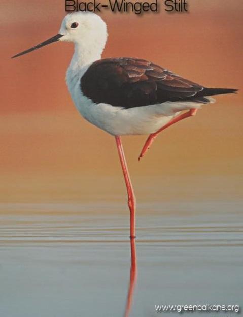 black winged stilt pomorie lake