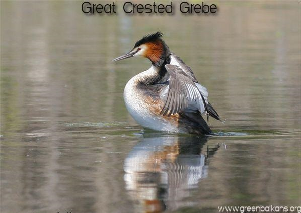 great crested grebe pomorie lake