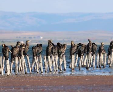 great cormorants pomorie 1