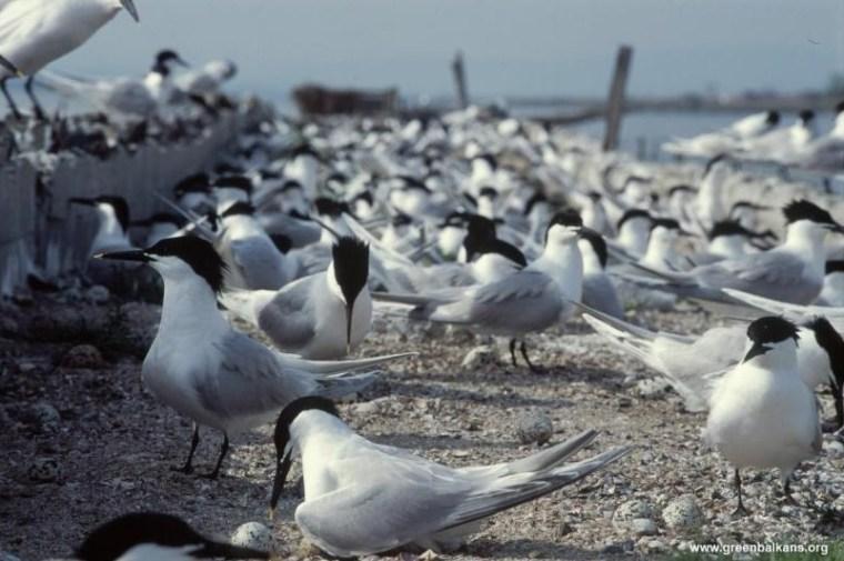 sandwich terns pomorie
