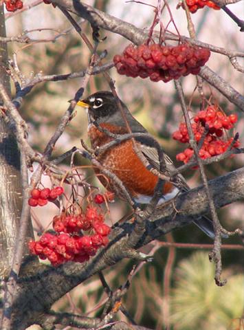 Wisconsin Robin!