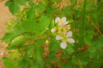 Due to the warm weather, strawberry blossoms get a late start.