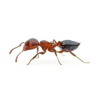 The Tiny Red Bugs On Concrete What Heck Are They. Little Red Ants On Bricks   The Best Ant In 2017