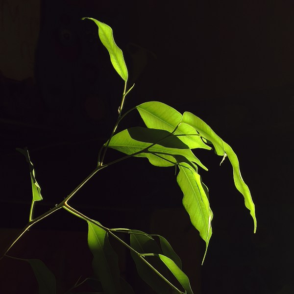 A high contrast image of bright green leaves illuminated by sunlight against a very dark background.