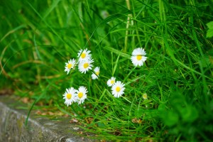 daisy blooming among grass
