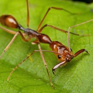 Les fourmis manioc