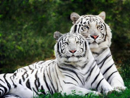 Le Clos de la Risle - Tigres blancs du Zoo de Cerza
