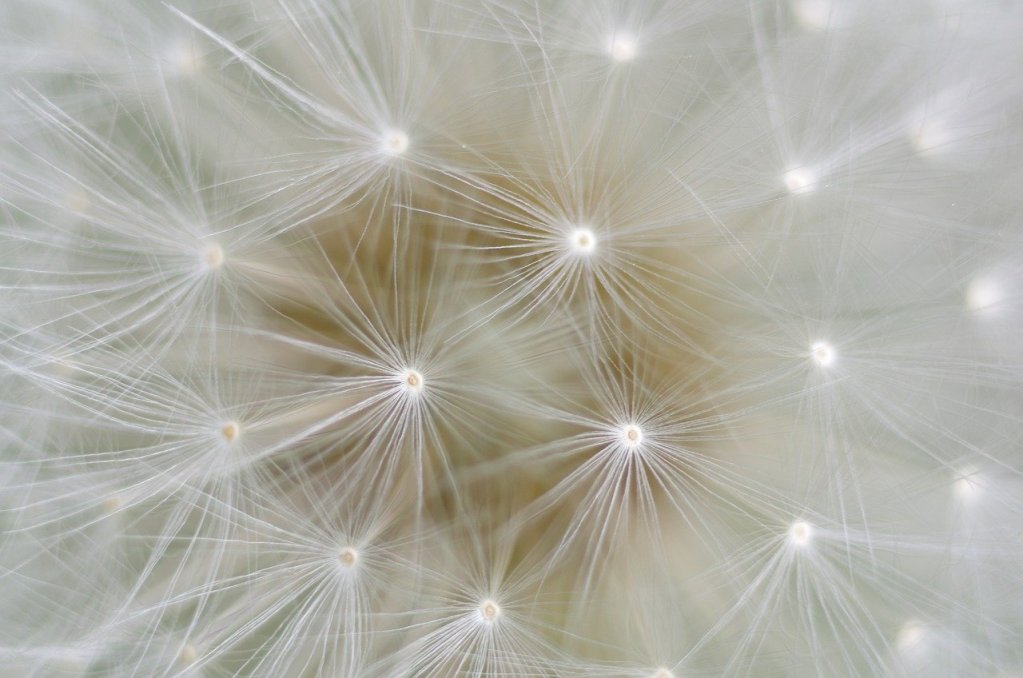dandelion, seeds, nature