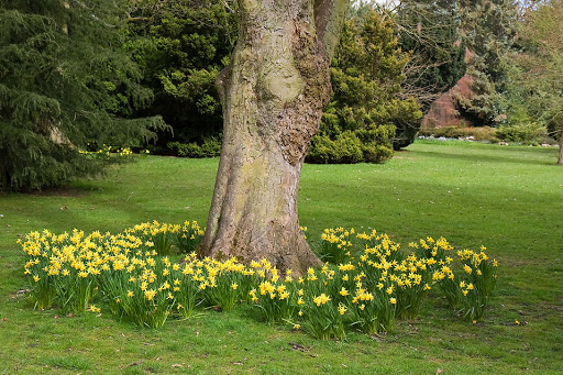 landscape around trees yellow daffodils