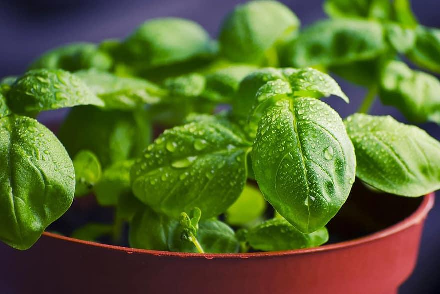 basil herbs food fresh cooking ingredient healthy organic green