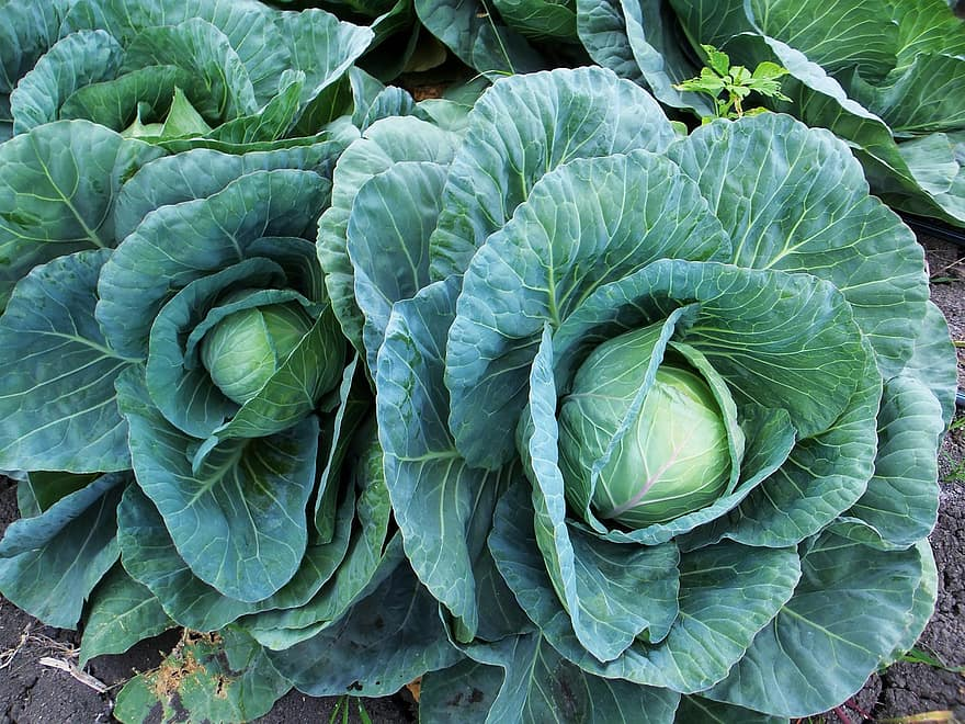 col cabbage cabbages leaves green agriculture nature vegetables power