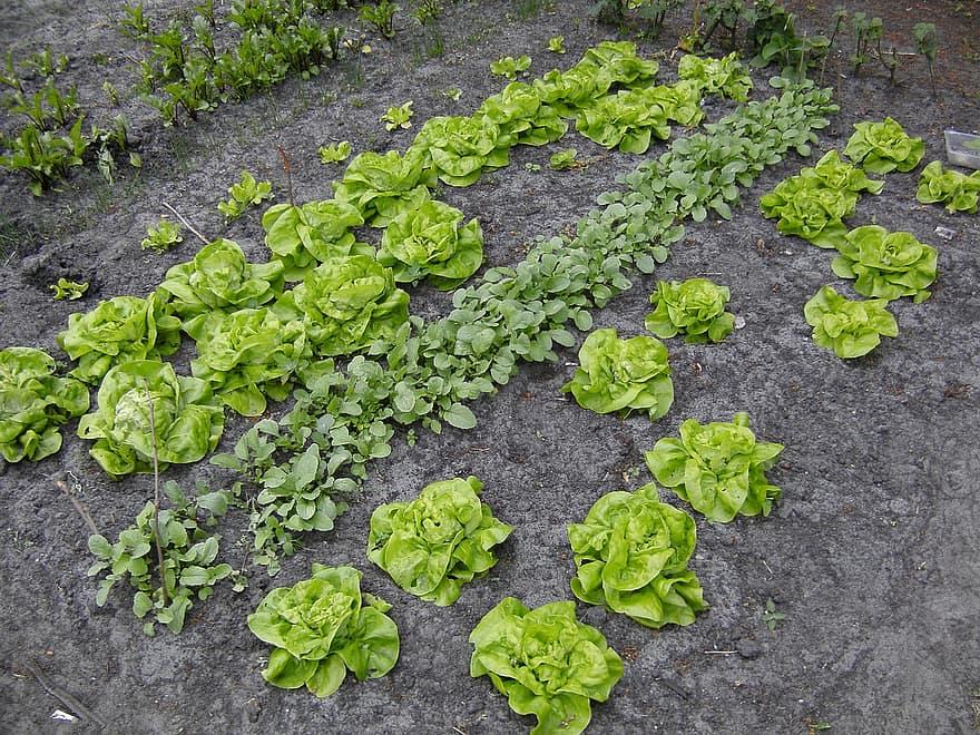 kitchen garden vegetable lettuce radish