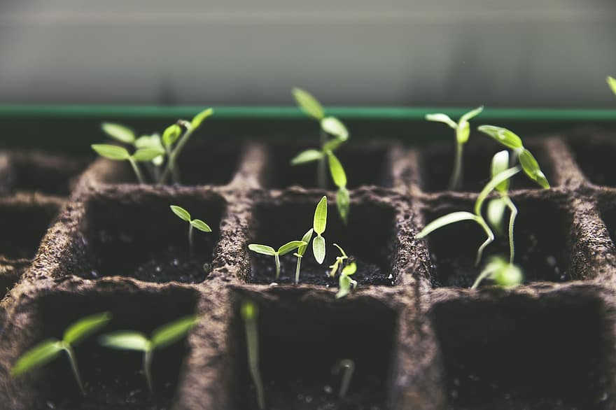 plant breeding tomato fruit garden home garden harvest green pot culture tomato breeding