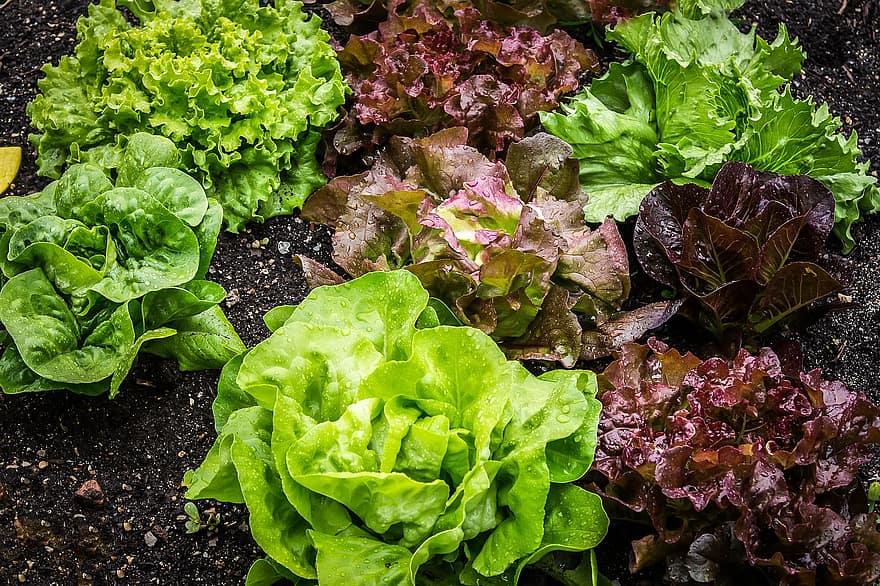 salad salad plant lettuce vegetarian leaf lettuce vegetable garden vegan bio healthy