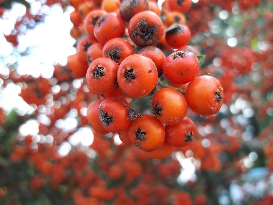 wild hawthorn red orange pink tree plant vitaman fruit tomato