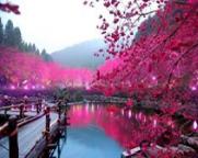 spring chrry blossom3