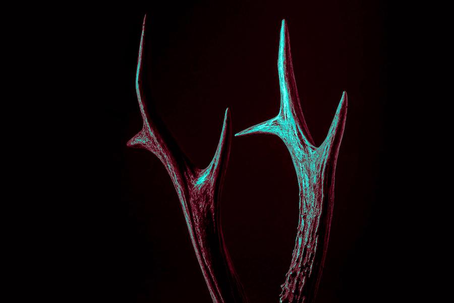 antler horns