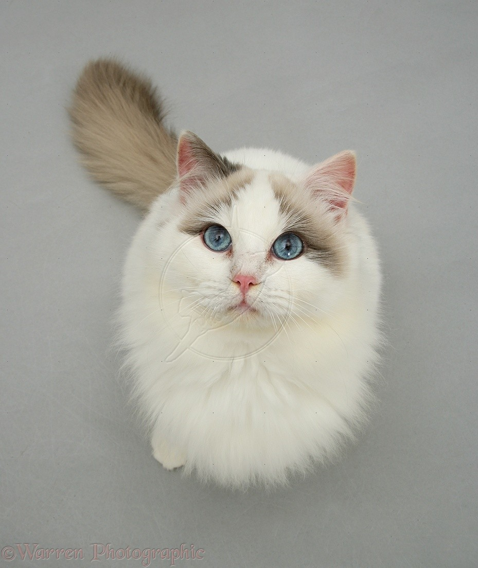 Cute Siamese Kittens Wallpaper Ragdoll Cat Personality Characteristics And Pictures