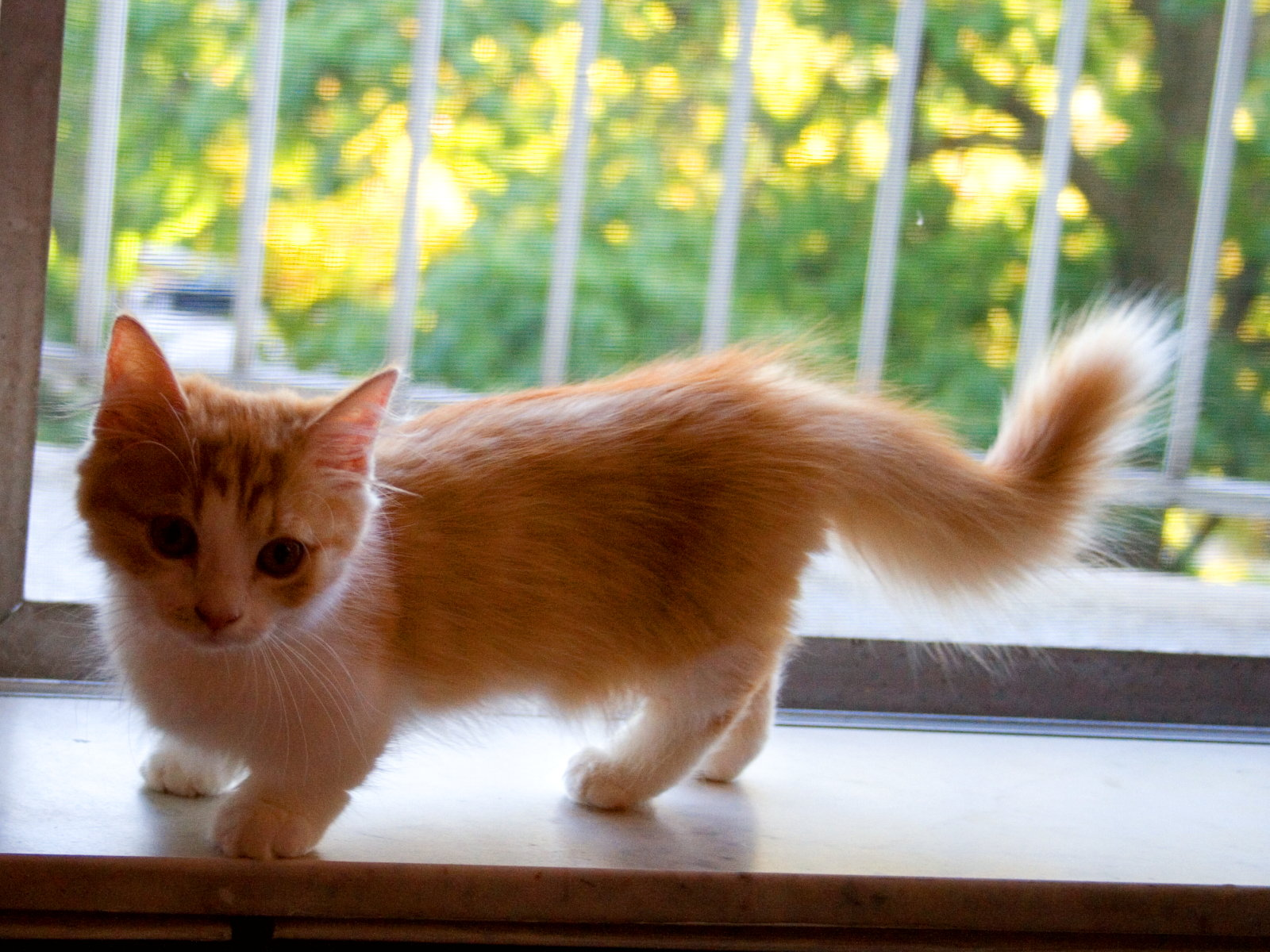 Cute Orange Kittens Wallpaper Munchkin Cat History Characteristics And Temperament