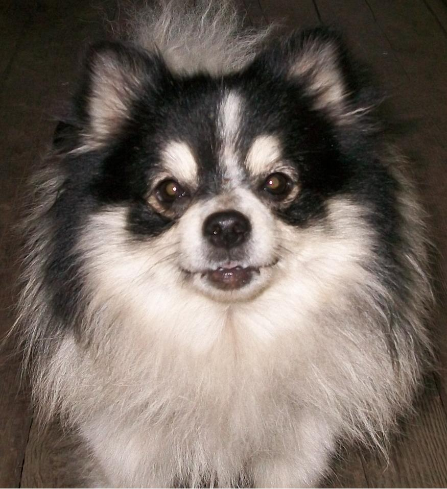 Cute Pomeranian Puppies Wallpaper Pomeranian Dog Temperament Exercise And Grooming