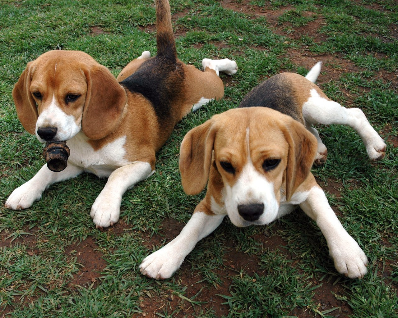 Very Cute Couple Hd Wallpaper Beagle Dogs Temperament Exercise And Grooming
