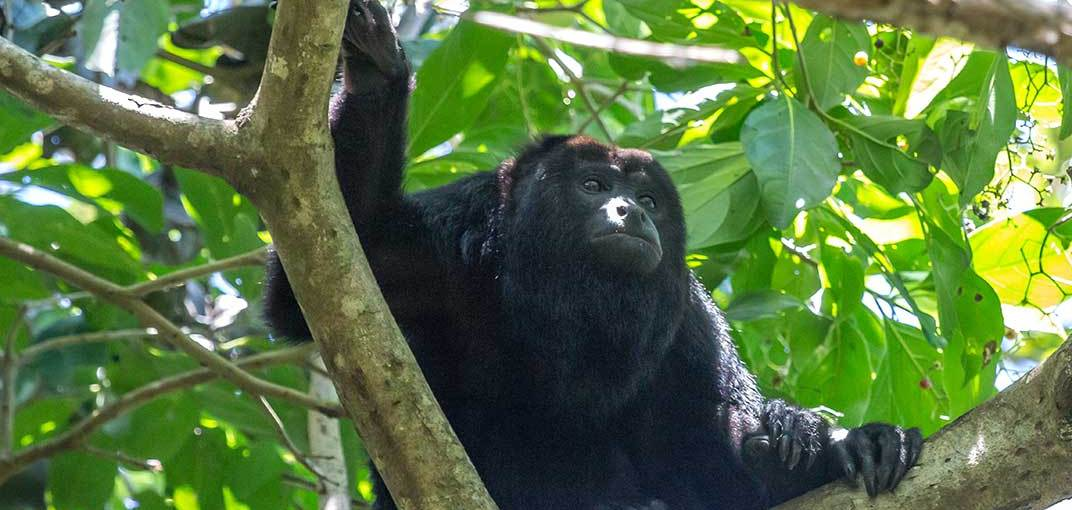 Howler Monkeys: The Noisiest Animals in the World