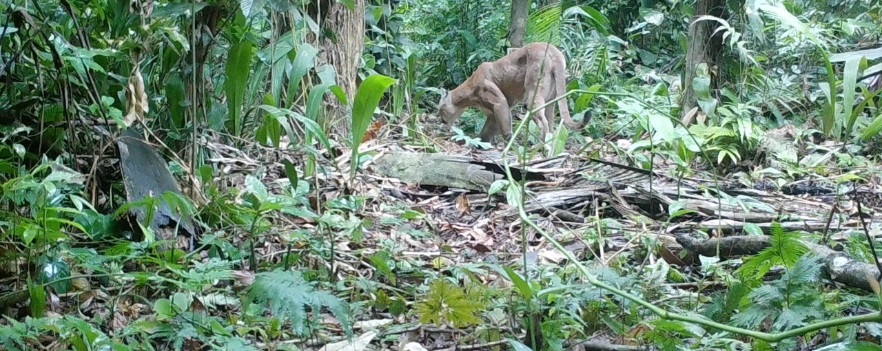 The Pumas of Belize