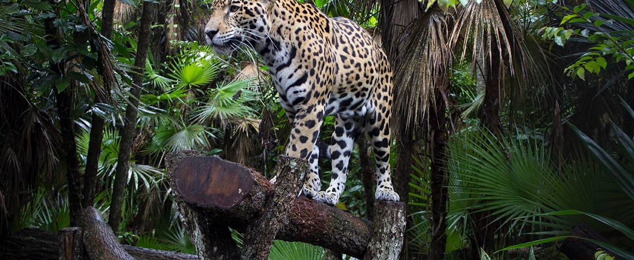 Jaguars: The Divine Cats of the Mayans