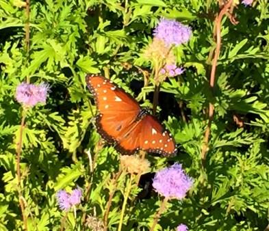 augusta-butterfly-5
