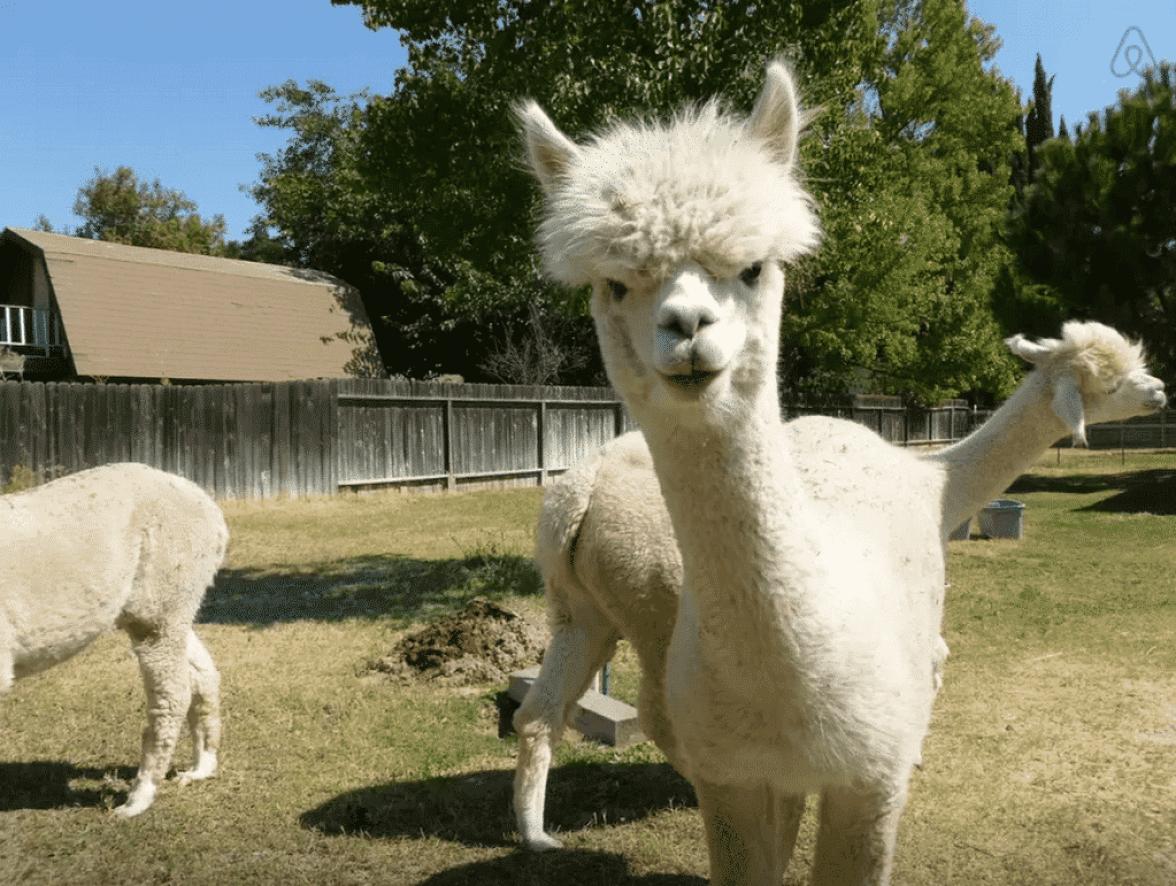 Alpacas airbnb