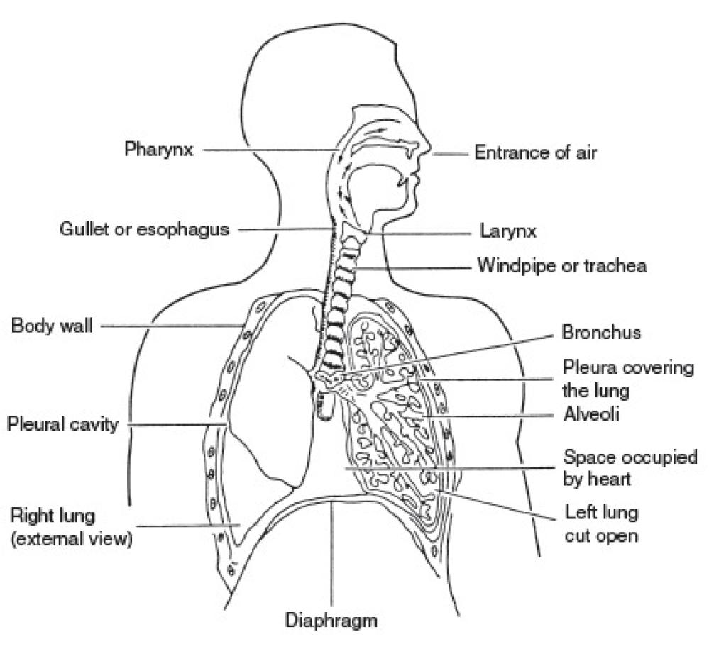 hight resolution of respiratory system of man
