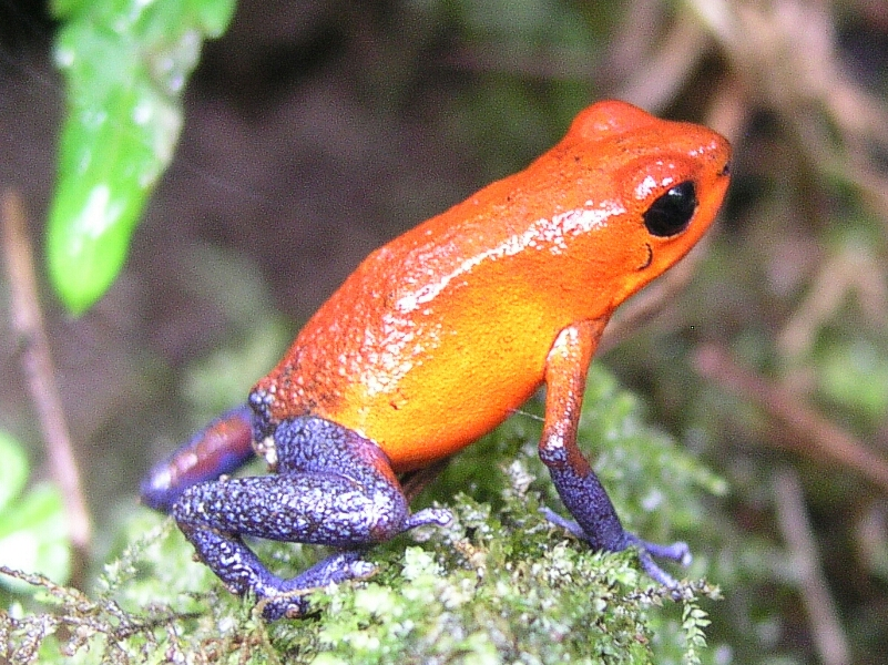 Costa Rican Tree Frog