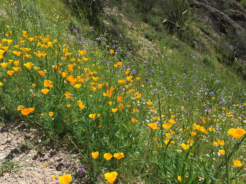 California Poppies Along The Hiking Trail