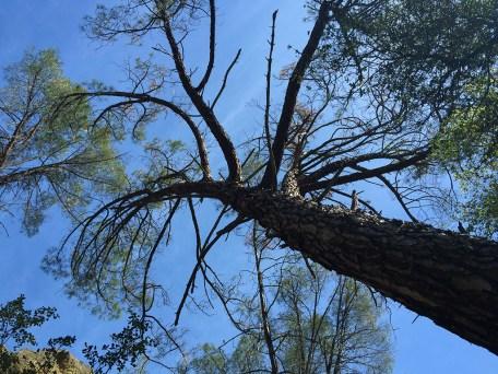 Pinnacles National Park Trees
