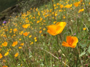 California Poppies along the Codfish Creek Trail