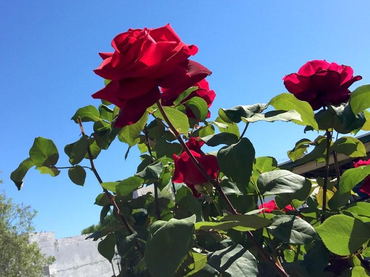 Roses in Old Sacramento