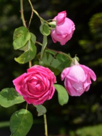 Bourn Cottage Roses at Empire Mine