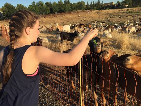 Feeding the Goats in Rocklin
