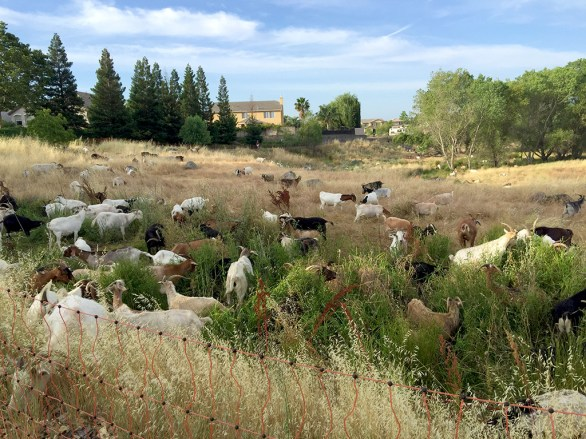 Goats for Vegetation Control in ROcklin, California